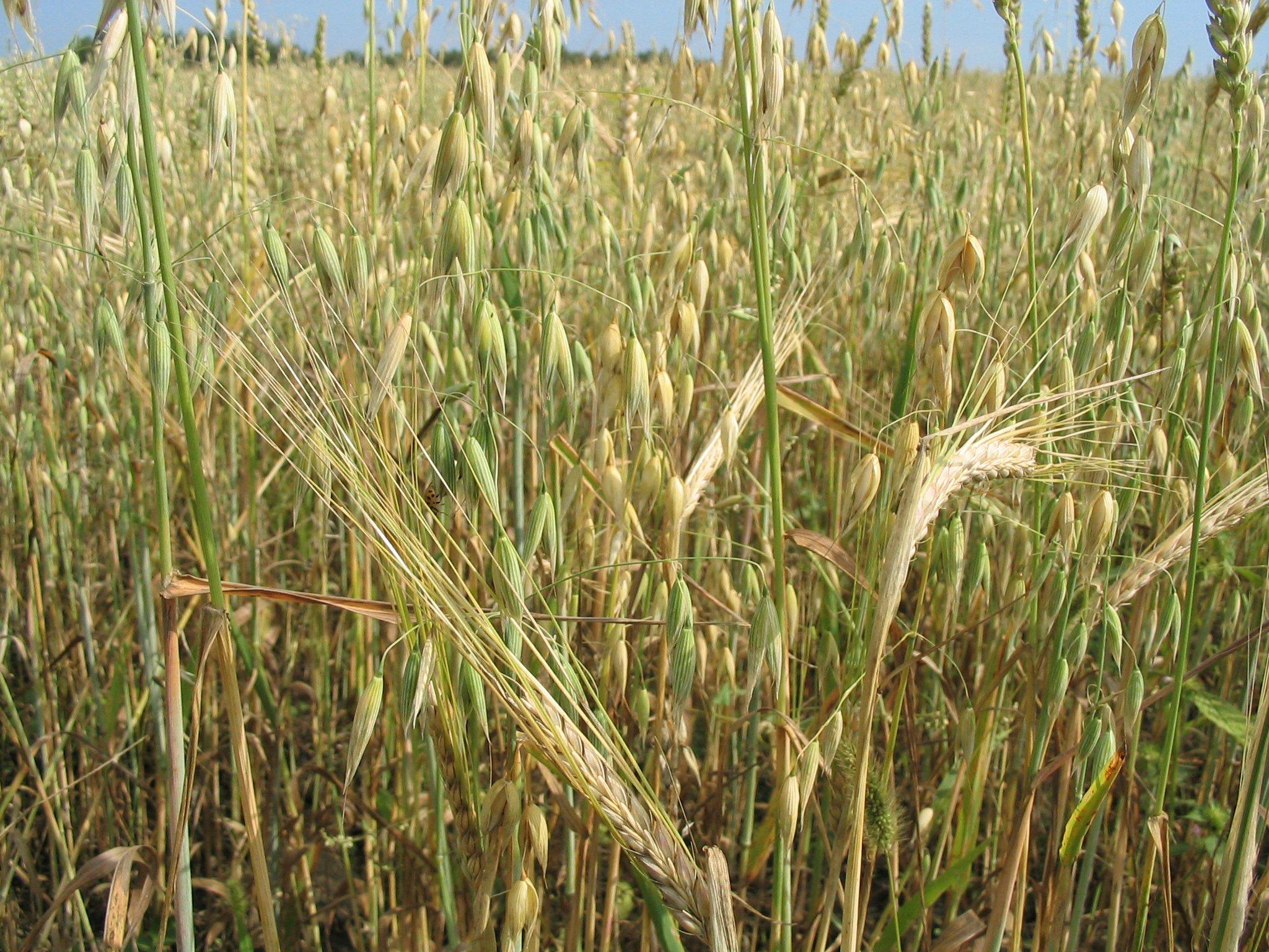 Растения при сахарном диабете: основние полезние фитопрепарати