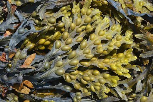 водоросль